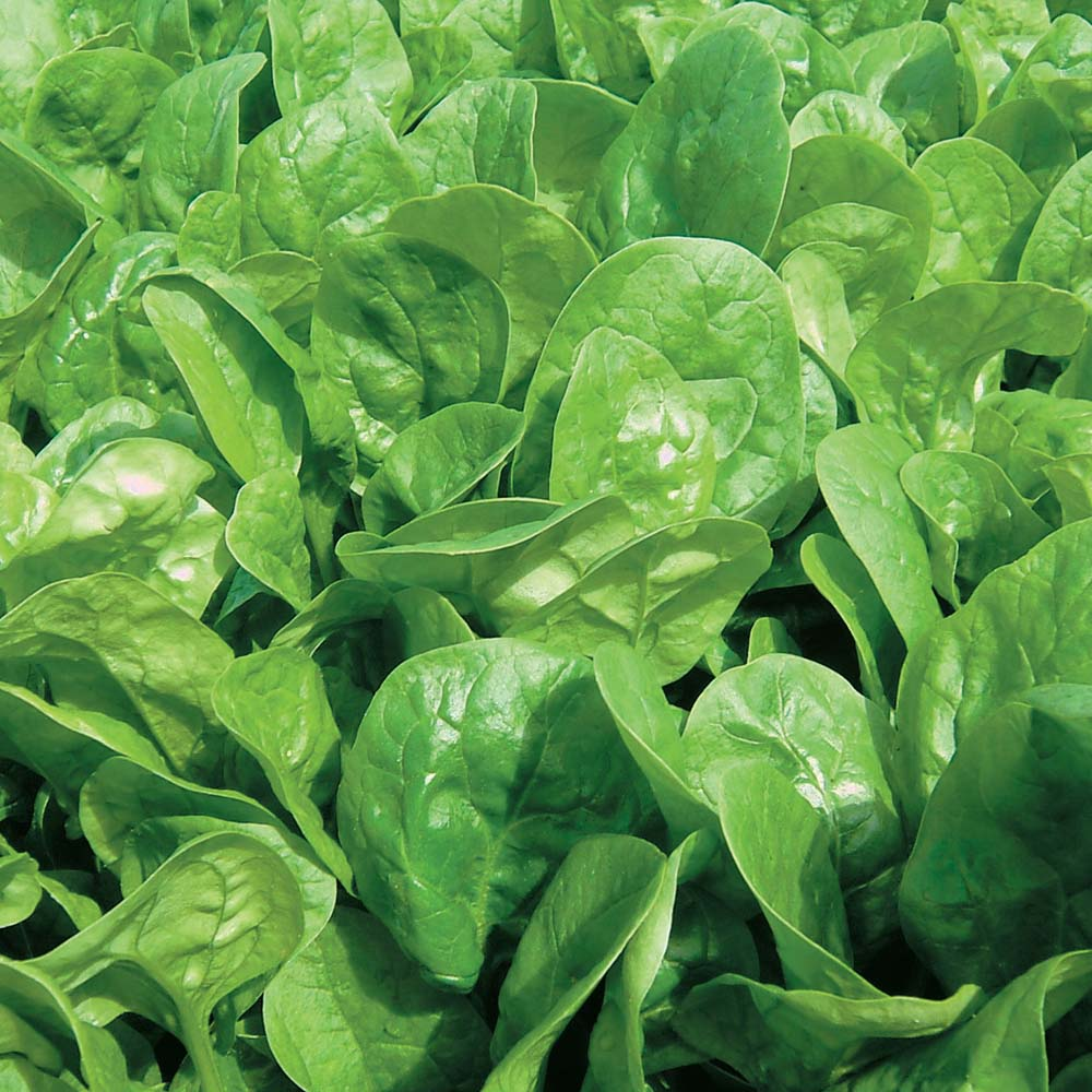 Benefits Of Eating Spinach For Health